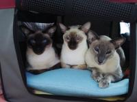 ♥Love♥siamese cats♥♥♥